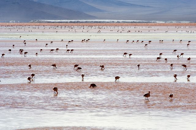 Andean_Flamingos_Laguna_Colorada_Bolivia